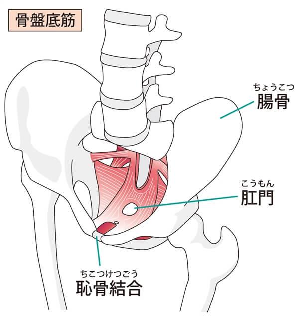 骨盤底筋は産後に鍛えるべきインナーマッスル