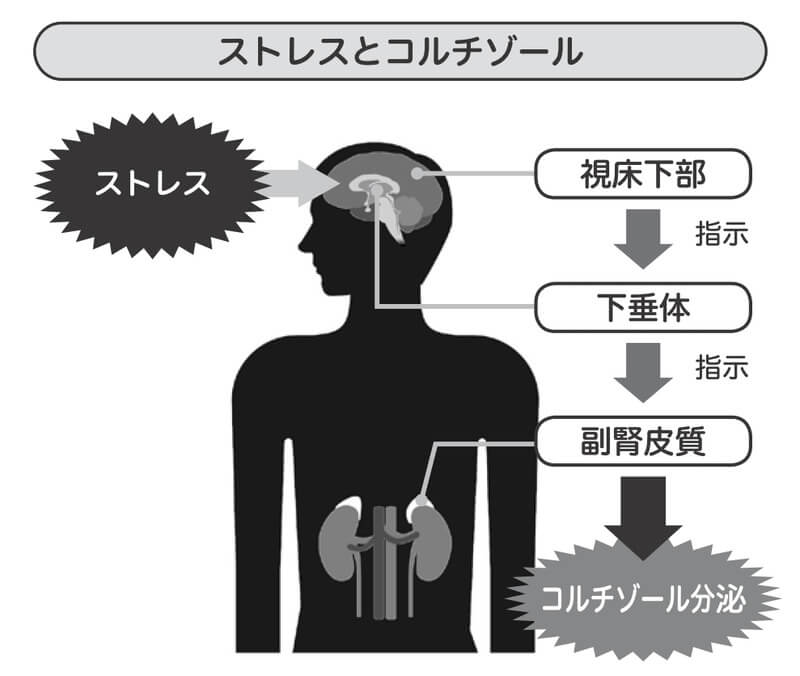 ストレスとコルチゾールの関係性
